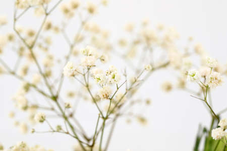 Twigs with many small white flowers of Gypsophila.