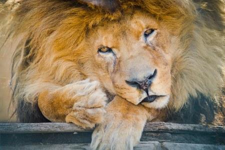 Old sad lion sitting in