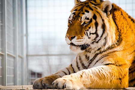 Tiger sitting in a cage. Freedom to al animals. Best place for tiger is NATURE. 免版税图像