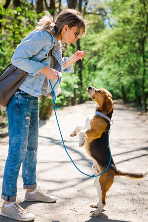 Bigle like dog on leash jumping to get reward - sweet titbit. Woman exercise pet on forest road. Фото со стока