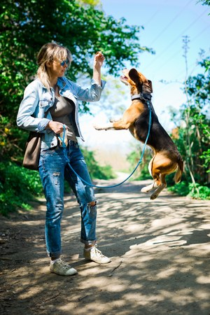 Bigle like dog on leash jumping to get reward - sweet titbit - pet on forest road - high jump Banque d'images