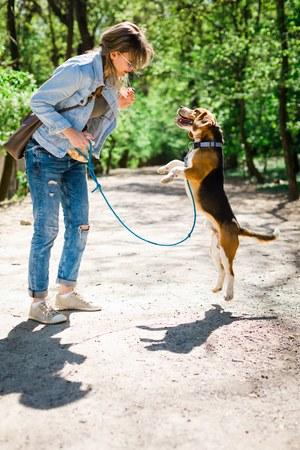 Bigle like dog on leash jumping to get reward - sweet titbit. Pet training