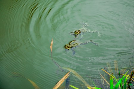 Frogs in the water - male and female during reproduction period