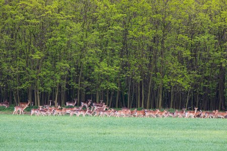 Herd of deers during spring of green field close to forest - wild animals Stockfoto