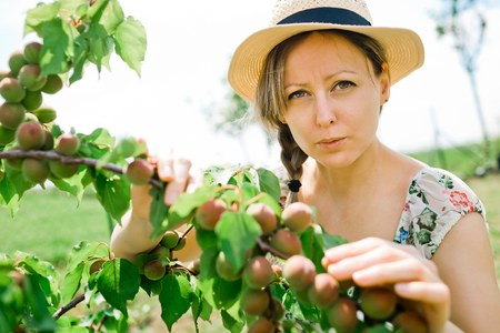 Female farmer is checking maturing apricots on tree branch during spring time, apricot ovary