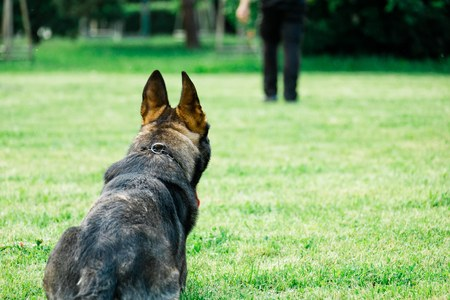 German shepherd the dog waiting to obey command from his handler, owner