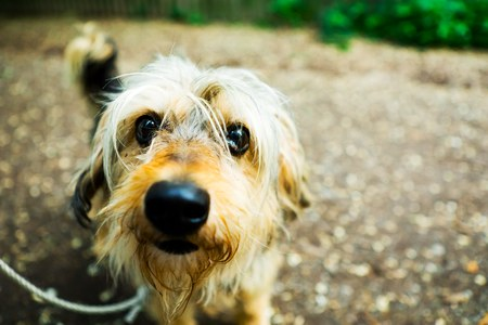 Small shaggy dog on leash looking into camera