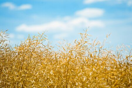 Oil seed field before harvest, golden color of mature harvest and blue sky