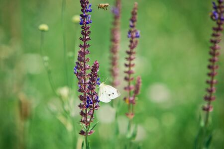 Cabbage White, Pieris rapae and bee on Salvia pratensis, violet blue meadow flowers and white butterfly