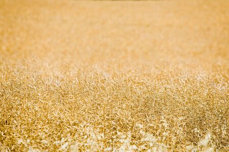Oilseed rape field before harvest, golden color of mature harvest Stock Photo
