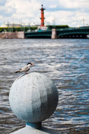 St. Petersburg, Russia - July 7, 2019: Bird having small fish in beak 新聞圖片