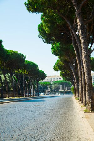 Italian Stone Pines, Pinus Pinea also known as Umbrella Pines, tall alley of trees along the streets of Rome. Italy.