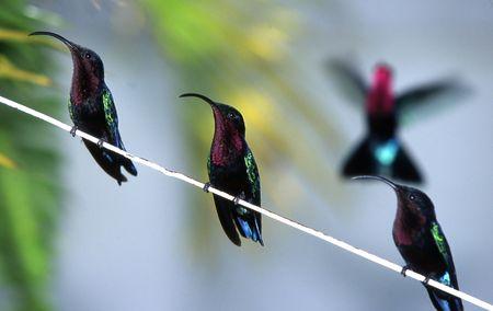 colibries: Colibríes  Foto de archivo