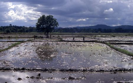 Rice fields photo