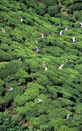 greenness: Tea plantation Stock Photo