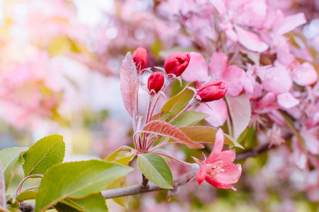 Spring branches of an apple-tree with pink flowers on a soft background