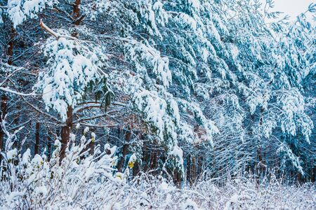 Winter forest and tree branches in the snow