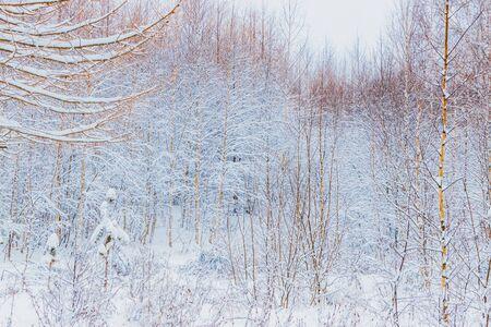 Foresta invernale con neve e brina sugli alberi