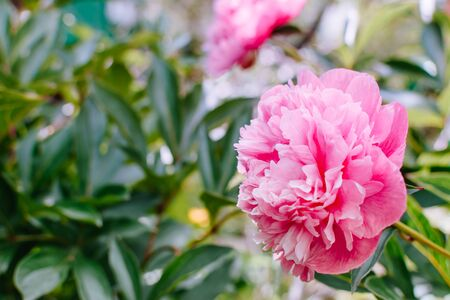 Pink peony on a soft background in a summer garden