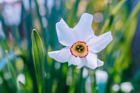 White daffodil on a soft background in the spring garden Zdjęcie Seryjne