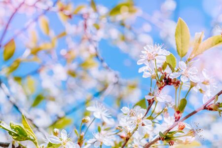 Blooming spring branches of cherry in the blue sky