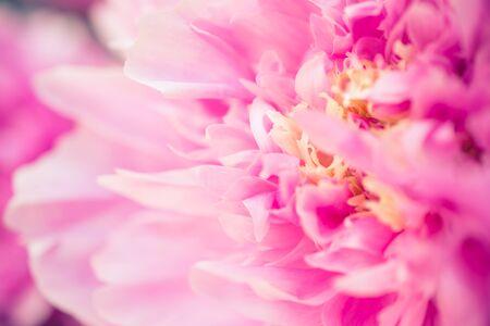 模糊的粉红色牡丹精致的花瓣。未聚焦的抽象花卉背景