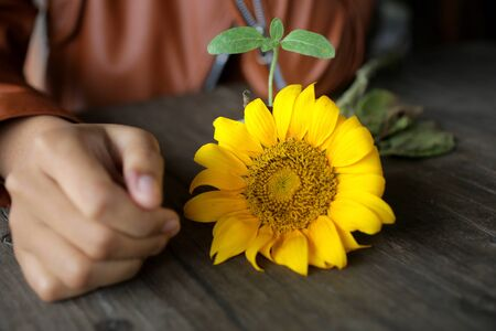 Young woman hand, yellow sunflower blossom and the baby sunflower plant. New Life process concept. Stok Fotoğraf