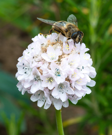 apocrita: A side on view of a Wasp sitting on a white flower Stock Photo
