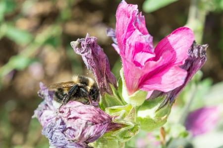 mauve: A Honeybee, side on, collecting pollen from a shivelled mauve and pink flower Stock Photo