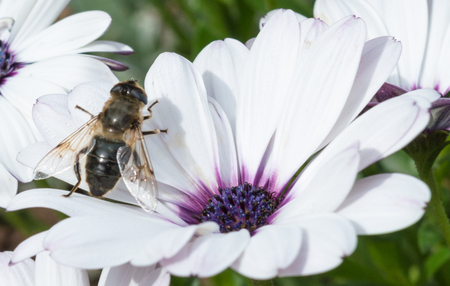 apocrita: A Bee sitting on a white flower with a purple centre Stock Photo