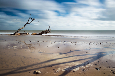 sinking: A tree sinking in the sand at Southwold, Suffolk