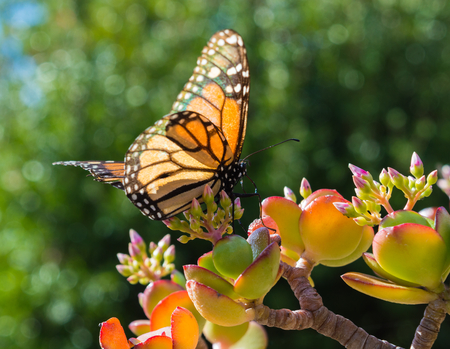 Monarch Butterfly on a Jade Plant in a hotel garden in Madeira