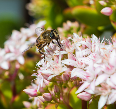 apis: Honeybee Sitting on a Jade Plant in a hotel garden in Madeira