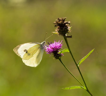 pieris: A Large White Butterfly sititng on a mauve thistle flower in a field in a nature reserve in Cranham, Essex Stock Photo