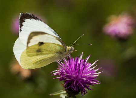 europeans: A Large White Butterfly sititng on a mauve thistle flower in a field in a nature reserve in Cranham, Essex Stock Photo