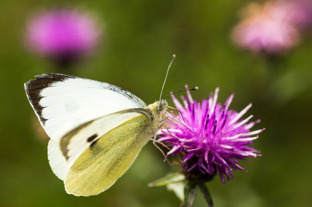 A Large White Butterfly sititng on a mauve thistle flower in a field in a nature reserve in Cranham, Essex Stock Photo