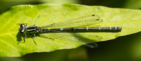 Female Southern Damselfly sitting on a leaf in a nature reserve in Essex Stock Photo