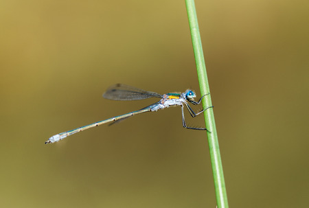 zygoptera: An Emerald Damselfly gripping onto a grass reed at the edge of a pond in a nature reserve in Cornwall, UK