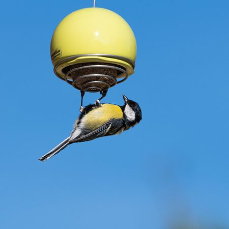 Great Tit bird hanging onto a lime green feeder filled with a suet ball, with the blue sky background
