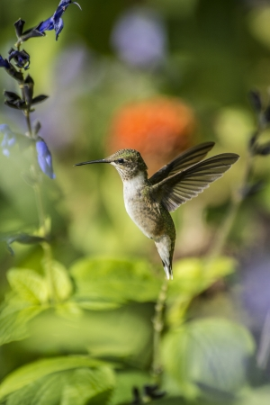 humming bird in motion