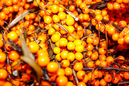 Ripe sea buckthorn on branches in a pile close-up. Selective shot.