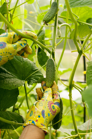 picks: Woman picks a young cucumber in the greenhouse. The harvest in the summer