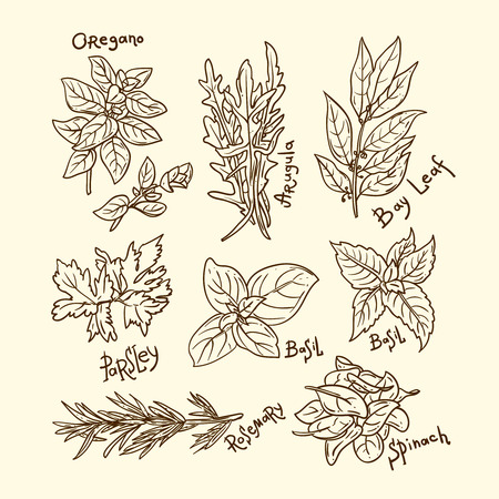 culinary: Set of beautiful hand drawn vector  illustration of culinary herbs