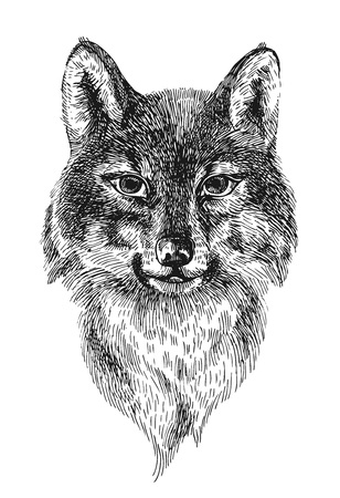 howl: Beautiful hand drawn vector illustration portrait of wolf. Engraving style.