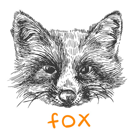 omnivore: Beautiful hand drawn vector illustration sketching of fox. Black and white drawing. Use for postcards, print for t-shirts, posters, tattoo
