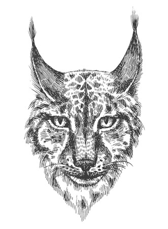 bared: Head of beautiful lynx. Black and white illustration with head of wild cat with bared teeth. Hand drawn sketch. Ink painting. Design element useful for print for t-shirt.
