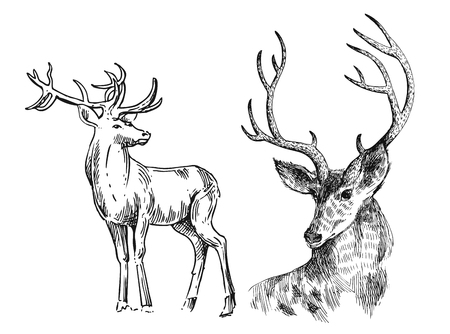 whitetail deer: Hand drawn vector illustration sketch of deer.  Boho style. Use for scrapbook, tissue, textile, cloth, fabric, web