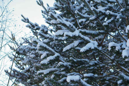 mature and beautiful spruce tree growing in natural conditions. cones hang on the branches, the tree itself is sprinkled with snow. the tree stands against the background of a clear and blue sky.