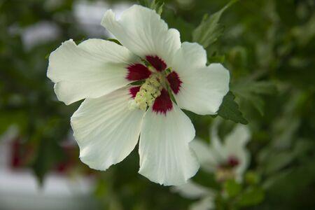 photo of beautiful white hibiscus