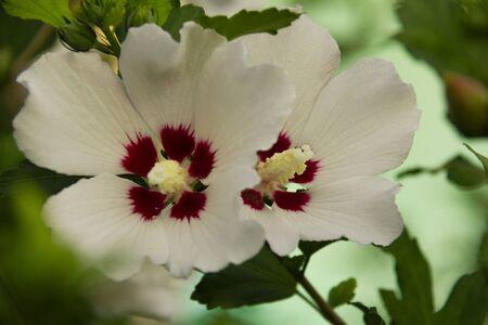 photo of beautiful white hibiscus on a bush Stok Fotoğraf